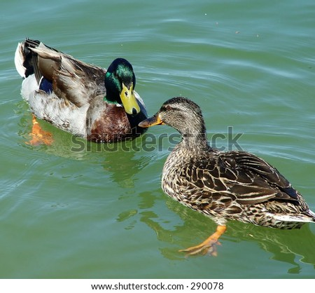 Duck Love - male and female mallard in spring - stock photo