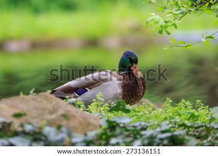 duck next river - stock photo