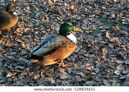 Duck on fallen leaves in autumn lit by sunset