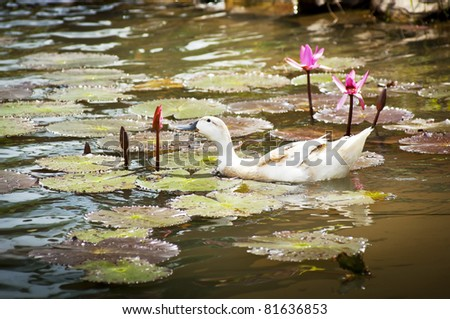 Duck on lilly pond eats a flower - stock photo