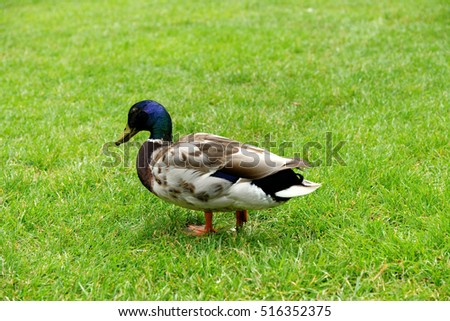 Duck on the green grass in a farm in the countryside in the summer.