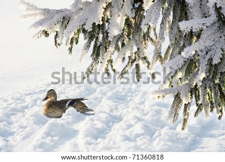 duck on the snow - stock photo