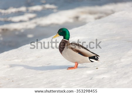 duck on the snow near the river - stock photo