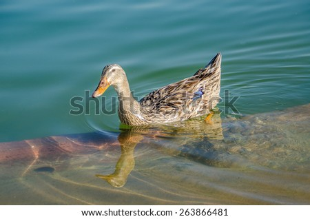 Duck on Water, Bird, Duck, Bird on Water - stock photo