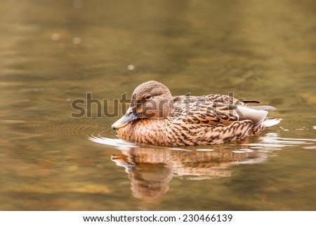 Duck on water in czech republic on the devils lake - stock photo