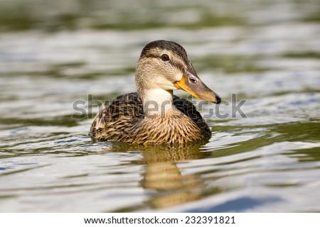Duck portrait - stock photo