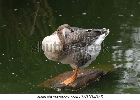 duck rest on edge of lake - stock photo