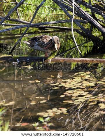 Duck scratches neck in Fernan Lake, Idaho. - stock photo