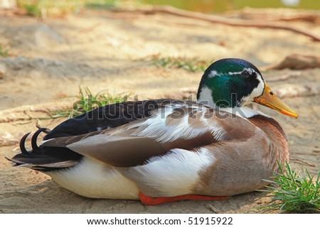 Duck Sitting on Dust - stock photo