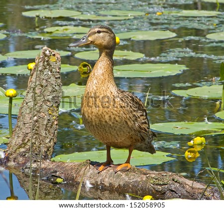 Duck standing on a tree in the middle of the lake - stock photo