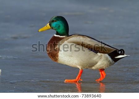duck walking on the ice - stock photo