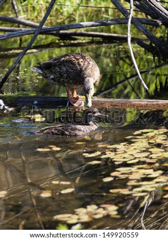 Duck watches another swim by in Fernan Lake, Idaho. - stock photo