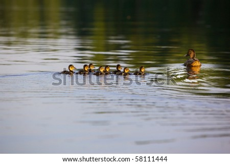 Duck with a group of ducks swimming on the lake. Horizontal picture. Lots of space for text. Photo taken during sunset - stock photo