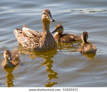 duck with her children - stock photo