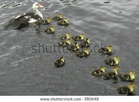 Duck with 17 Kids