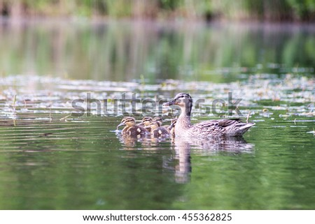 duck with the ducklings first time in the water on the lake at summer - stock photo