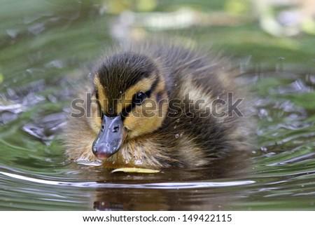 Duckling - stock photo