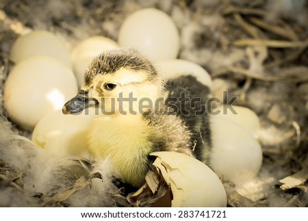 Duckling born in the ovaries. (Monochromatic colour) - stock photo