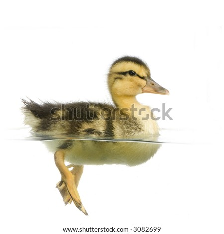 Duckling floating on water in front of a white background - stock photo