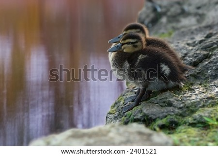 Duckling Hesitation. A pair of sibling mallard ducklings. - stock photo