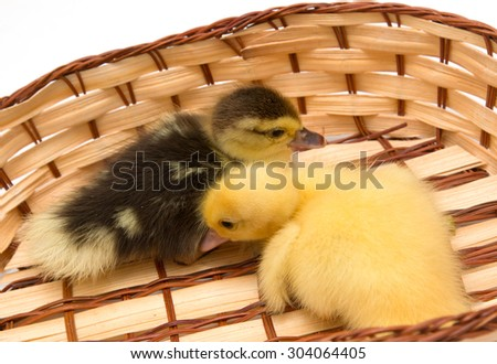 duckling in a basket - stock photo