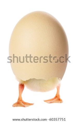 Duckling in a shell isolated on white - stock photo