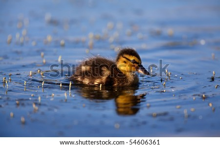 Duckling in the lake - stock photo
