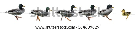 Duckling stand in the way of a group of ducks, isolated - stock photo