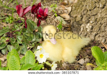 Duckling young baby duck on flowers. - stock photo