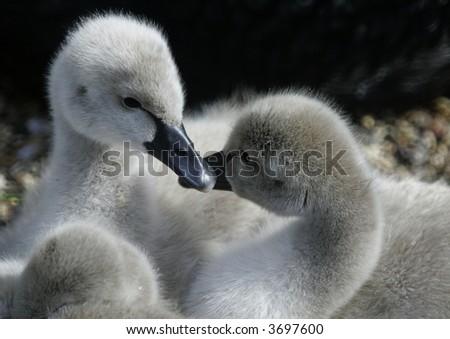 ducklings - stock photo