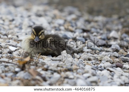 ducklings at lake