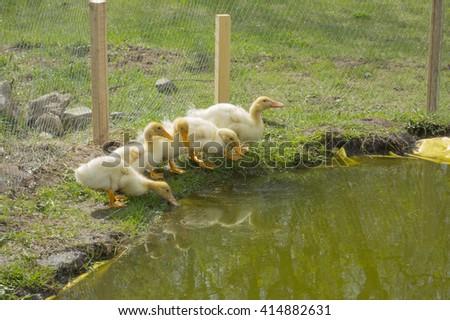 Ducklings drink water - stock photo