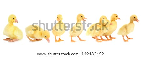 Ducklings isolated on white - stock photo