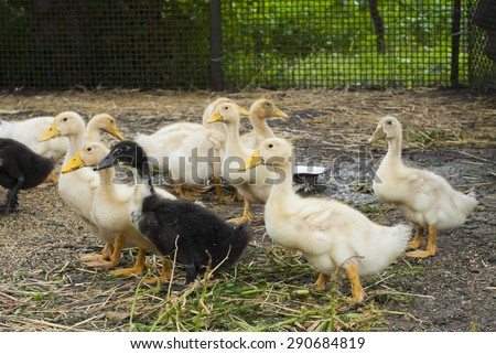 Ducklings on a farm for a walk