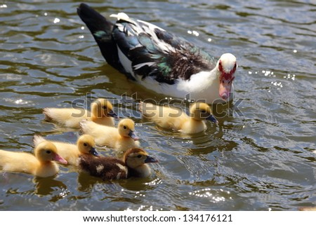 Ducklings swimming in the water with their mother - stock photo