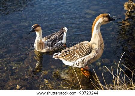 ducks are swiming in the lake - stock photo