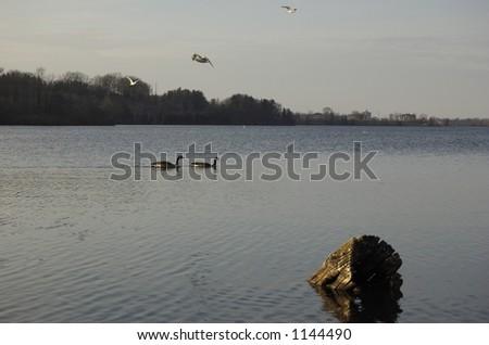 Ducks at sundown - stock photo