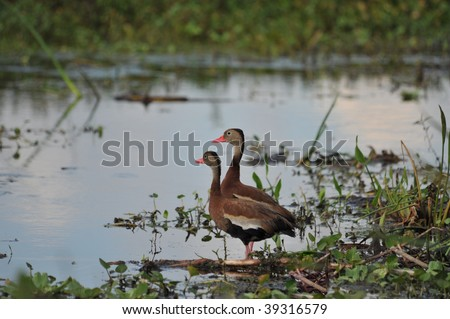 Ducks at the Orlando Wetlands Park - stock photo
