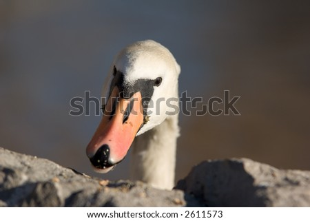 Ducks Beak - stock photo