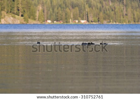 Ducks feeding on millions of mosquitoes on the surface of Diamond Lake in Oregon