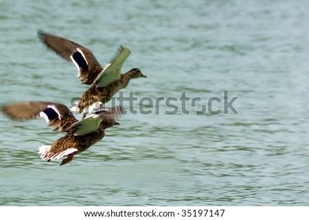 Ducks flying above lake - stock photo