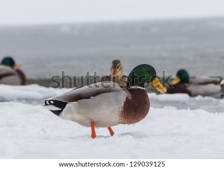 ducks in the winter - stock photo