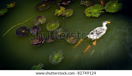 Ducks on a lilly pond followed by fish - stock photo