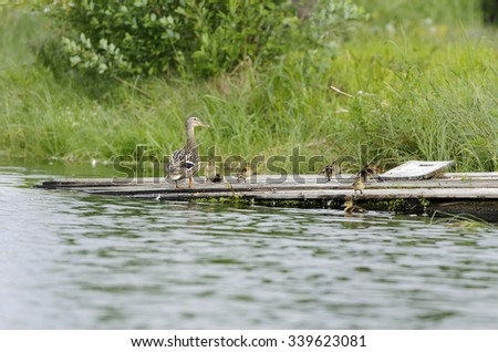 Ducks on a raft in the pond - stock photo