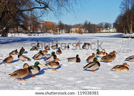Ducks on snow in a park - stock photo