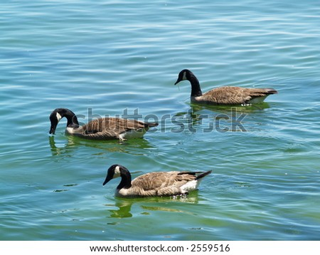 ducks on the lake - stock photo