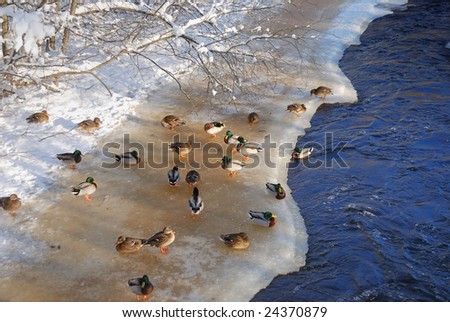 ducks on the river ice in winter - stock photo