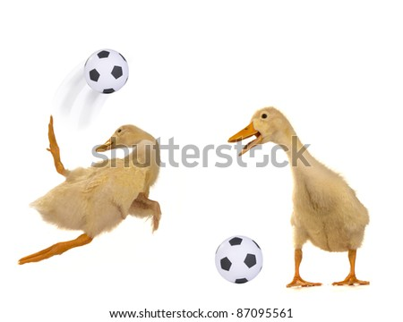 Ducks playing football on a white background - stock photo