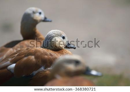 ducks Ruddy Shelduck - stock photo