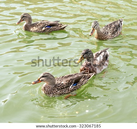 Ducks swim in a pond background - stock photo